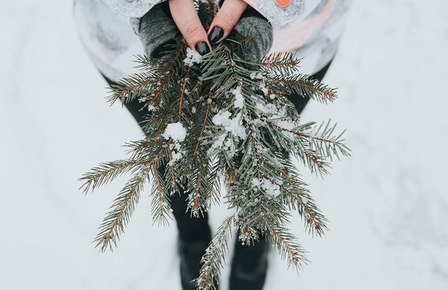 Fresh pine branches